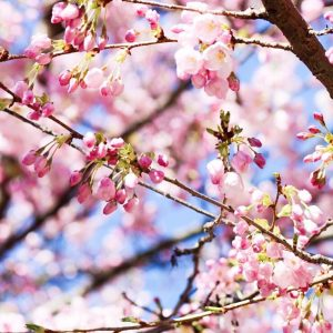 Image of Cherry Blossoms in Vancouver