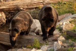 Image of Grouse Mountain's resident grizzly bears